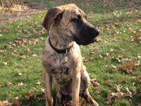 "Tiger is an awesome 6 month brindle ""Daniff"" puppy. He"