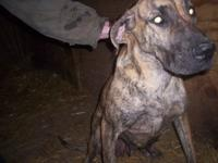 Great Dane Female adult.... Brindle with Black Mask...