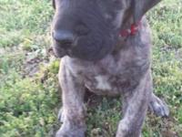 Great Dane female Puppy, brindle, 6 weeks old. parents