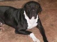 Great Dane - Kyle - Extra Large - Young - Male - Dog