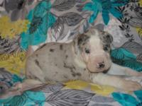 Blue Ray is a blue merle great dane male puppy. He was