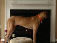 Totally increased pure breed terrific dane (130 pounds)