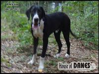 50% Euro Dixon is a stunning solid sweet boy - he is a