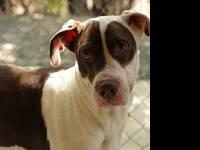Great Dane - Melvin - Large - Adult - Male - Dog Melvin