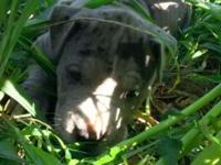 I have 4 great dane / pitbull puppies that will need