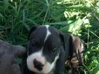 I have 2 great dane / pitbull puppies left that need