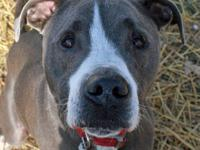 Great Dane - Pookie - Large - Adult - Male - Dog