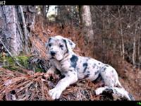 CKC Registered Great Dane Puppies - $700 males $750