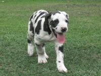 I have 3 gorgeous, loveable AKC Great Dane puppies..DOB