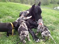 We currently have 2 Great Dane puppies available! 1
