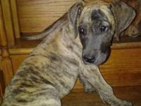We have 3 Great Dane Puppies, register-able with AKC
