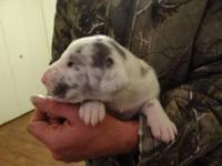 Beautiful litter of 7 Great Dane puppies born November