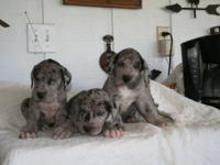 Great Dane puppies very nice markings dob 9-13 utd date
