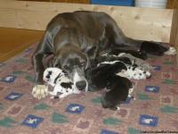 We raise quality AKC Great Dane puppies and this year