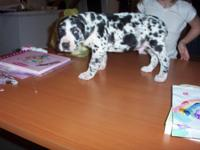 We have 3 great dane puppies available. We have 2