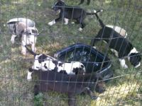 Beautiful litter of Great Dane puppies. $500.00 as pets