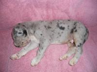 We have a litter of Great Dane Puppies, they were born