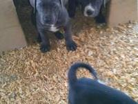 Great Dane Puppies or better known as Gentle Giants. We