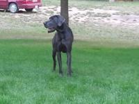 6 Blue Great Dane pups available late December. Born