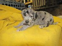 GREAT DANE AKC puppies. Beautiful Harlequin and Blue