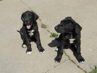 Two black male great dane puppies, they are 12 weeks