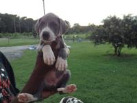 I have two gorgeous female Great Dane puppies for sale.