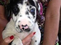 I have a litter of CKC reg 1/4 Euro great dane puppies