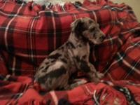 Full blood great dane puppies with no papers. 1