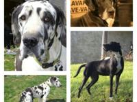Akc fantastic dane new puppies due May 28th dam is a