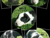 We have 5 lovely guy Fantastic Dane puppies that will