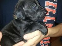 Litter of Black Great Dane Puppies ready Dec 11. 2