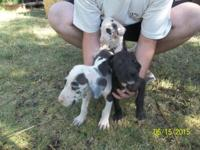 I HAVE GREAT DANE PUPPIES THAT ARE LOOKING FOR THEIR