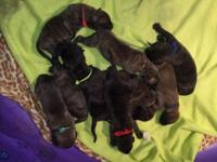 We have a beautiful litter of brindle/onyx brindle/fawn
