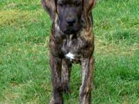 AKC fawn and brindle puppies. They are 12 weeks old and
