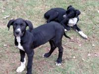 We have Great Dane Puppies for sale there are 5 Males