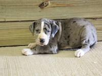 We have a trash of Great Dane Puppies offered. They