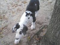 We are now offering these stunning Dane puppies to
