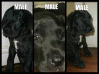 : I have for sale 2 beautiful FULL BLOODED Great Dane