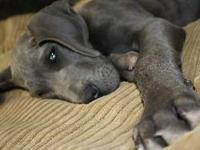 Exceptionally beautiful Blue Great Dane Puppies.