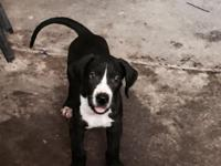 Hi we have these beautiful Great Dane puppies ready for