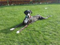 10 month old mantel female dane puppy. Currently about
