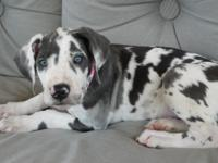 We have a female Great Dane puppy which will be 9 weeks