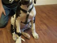 Harlequin Great Dane puppy available, born may 4 and is