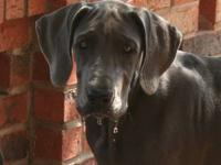 Sabine is a beautiful female Great Dane puppy. She is