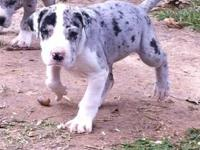 Get her before she is gone! 1 female Blue Merle puppy
