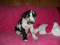 We have a female great dane puppy for sale. She is