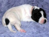 Bertha - FEMALE - Pink Collar - MANTLE HEAD PIEBALD -