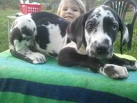 Cammi is a beutiful Harlequin female,she is 8 weeks old
