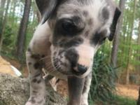 AKC gorgeous BlueFawn Harlequin Boy. 50 % European.