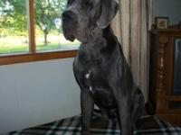 Nixa is a beautiful 62% European Blue female puppy.